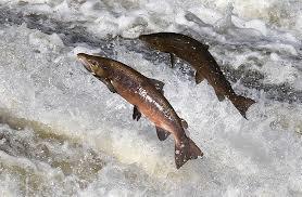 salmonspawning